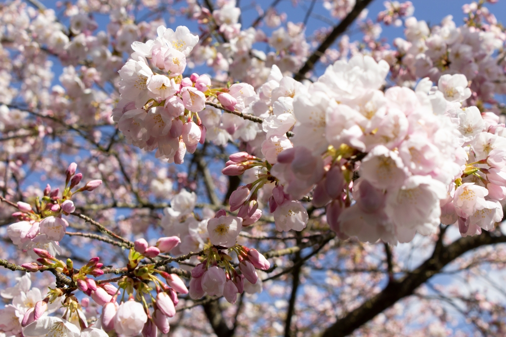 A close up of a cherry blossom tree that is just outside my house.